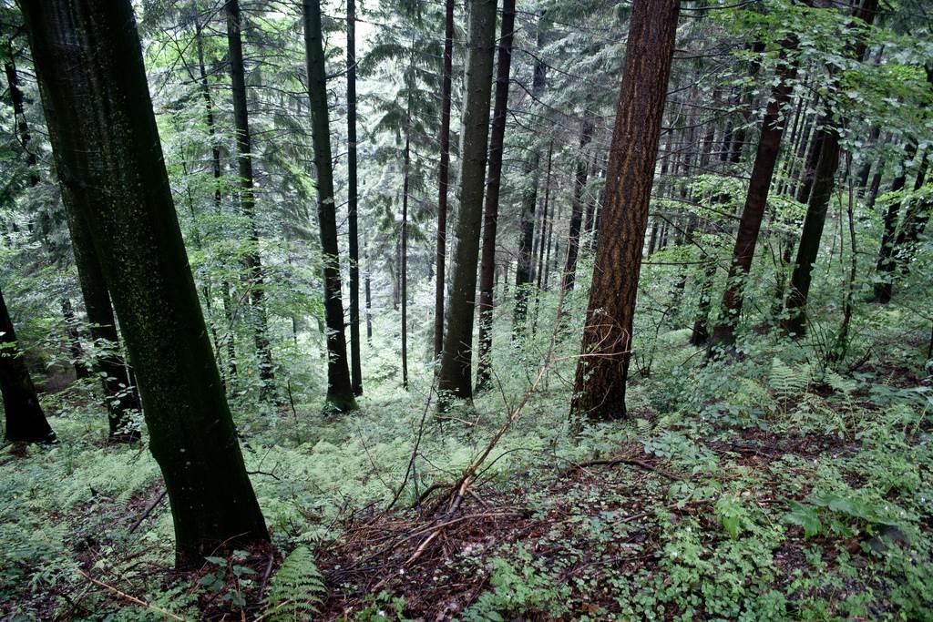 Selva Negra Pueblos. Bosque